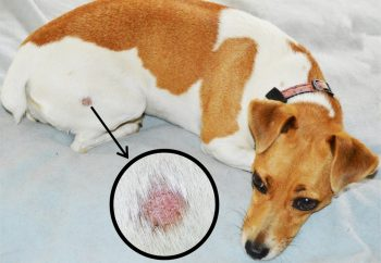 Natural Remedies for Ringworm in Dogs